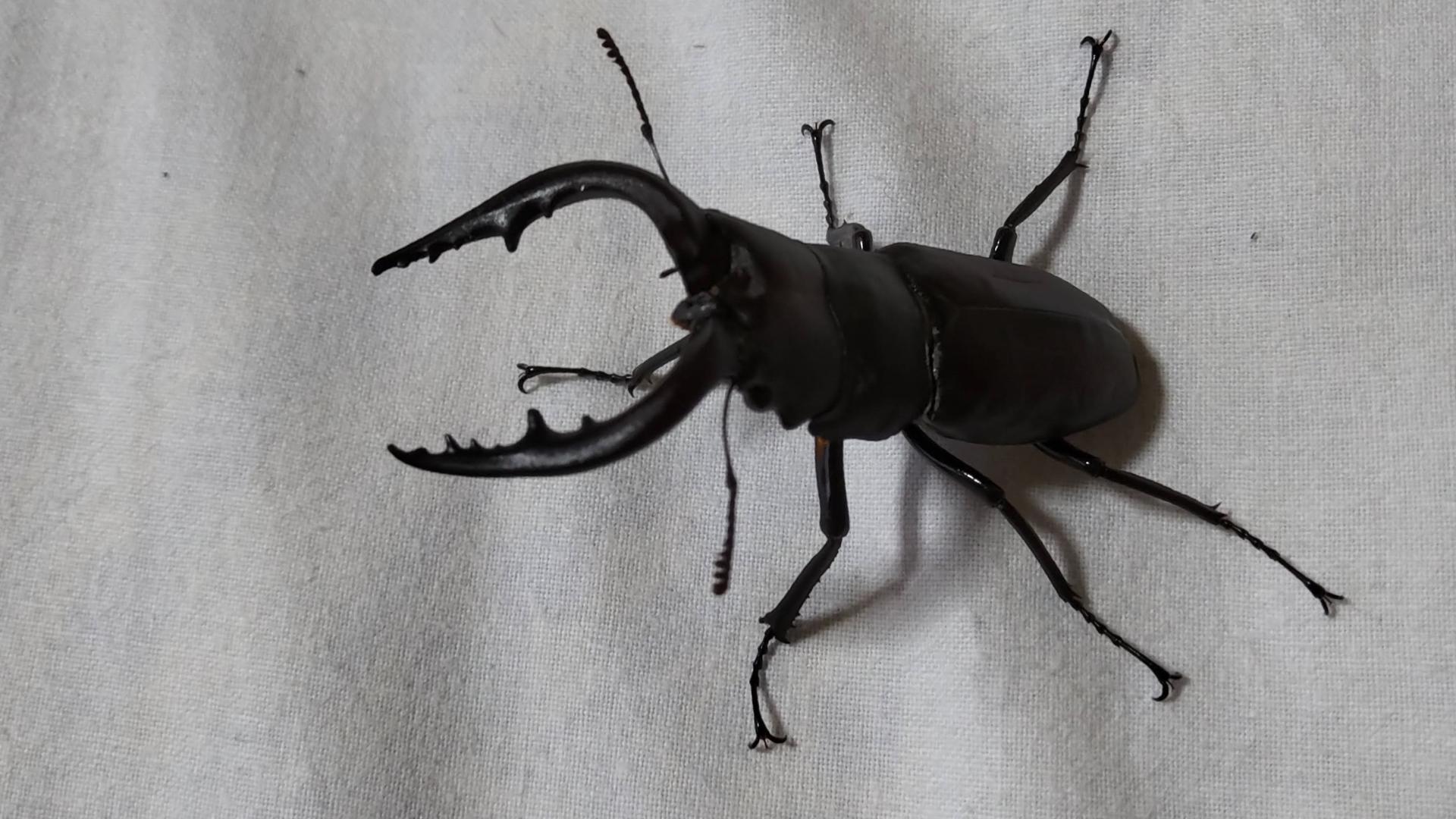 ノコギリクワガター昆虫採集ができる宿(岩寿荘)でクワガタをとった(東海)