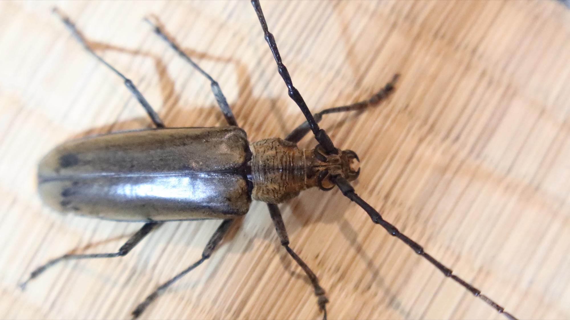 カミキリムシー昆虫採集ができる宿(岩寿荘)でクワガタをとった(東海)